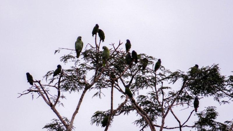 A pandemonium of Mealy parrots