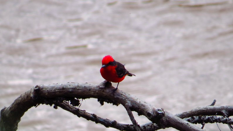 The illusive Vermillion Flycatcher
